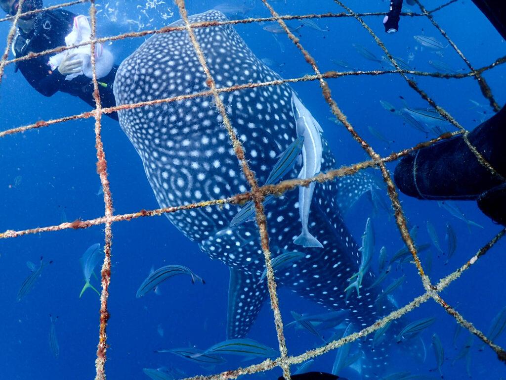 沖縄ジンベエザメとダイビング